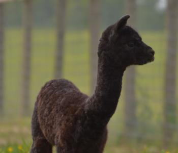 Image Tag Along Alpacas, LLC