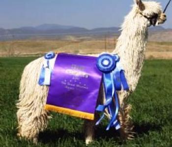 Image Bijou Alpacas